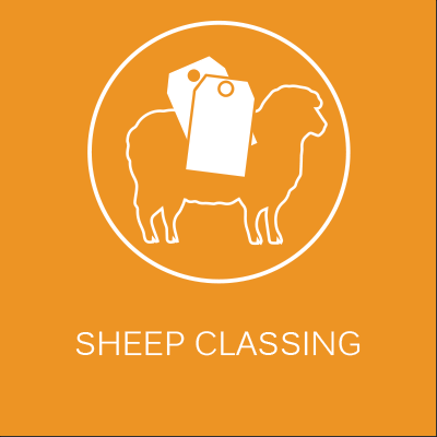 sheep-classing